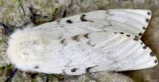 Female Moth